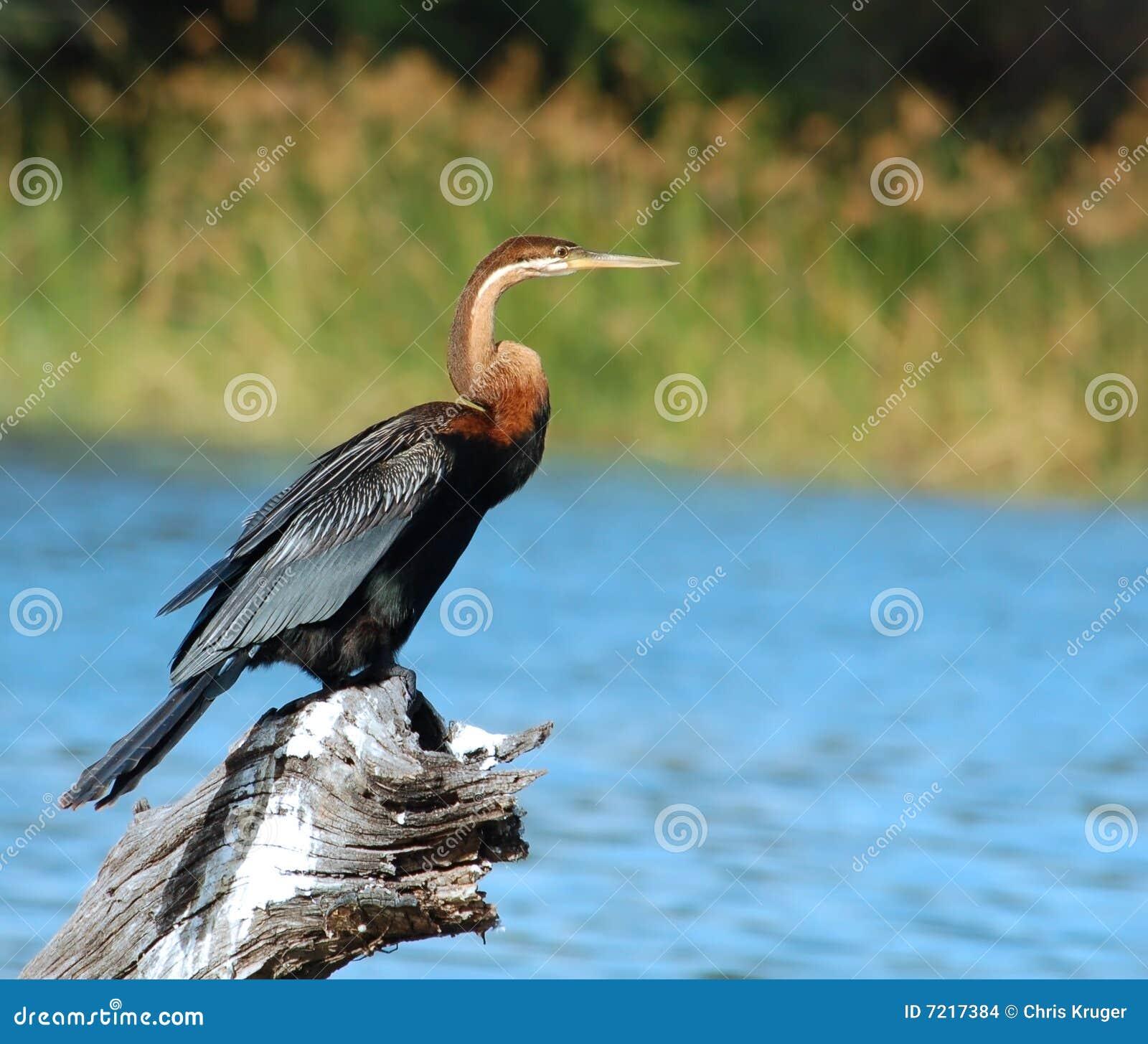 Fauna avícola en África: Darter africano