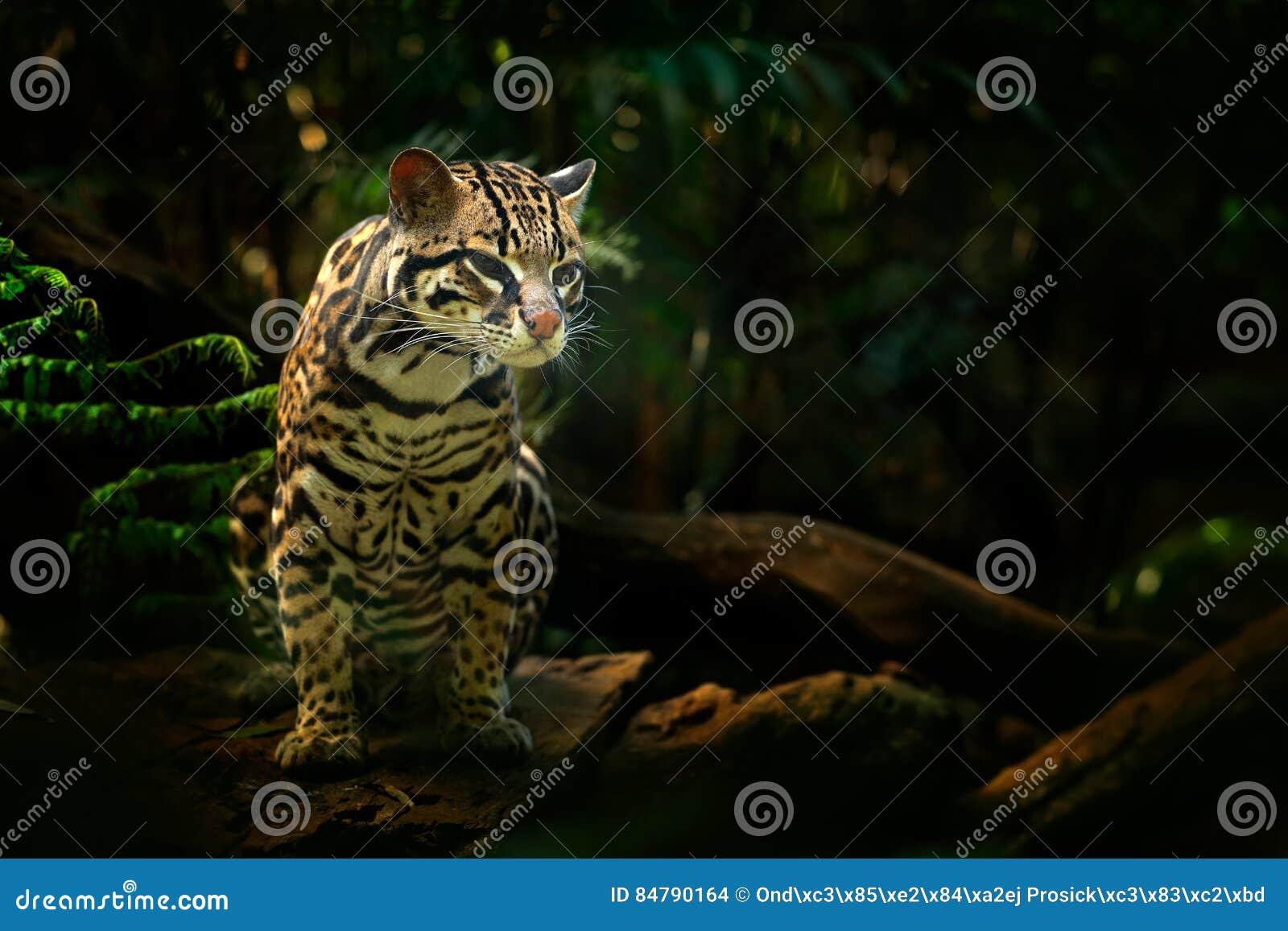 Fauna en Costa Rica Sentada margay del gato agradable en la rama en el retrato tropical costarican del detalle del bosque del oce