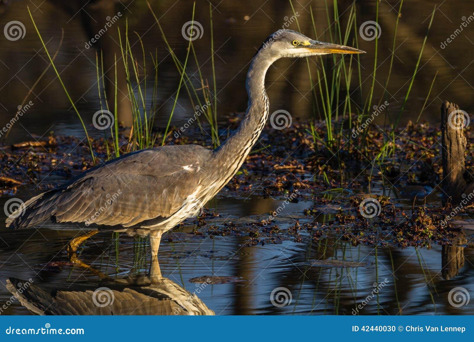 Fauna Grey Heron Bird Wetland