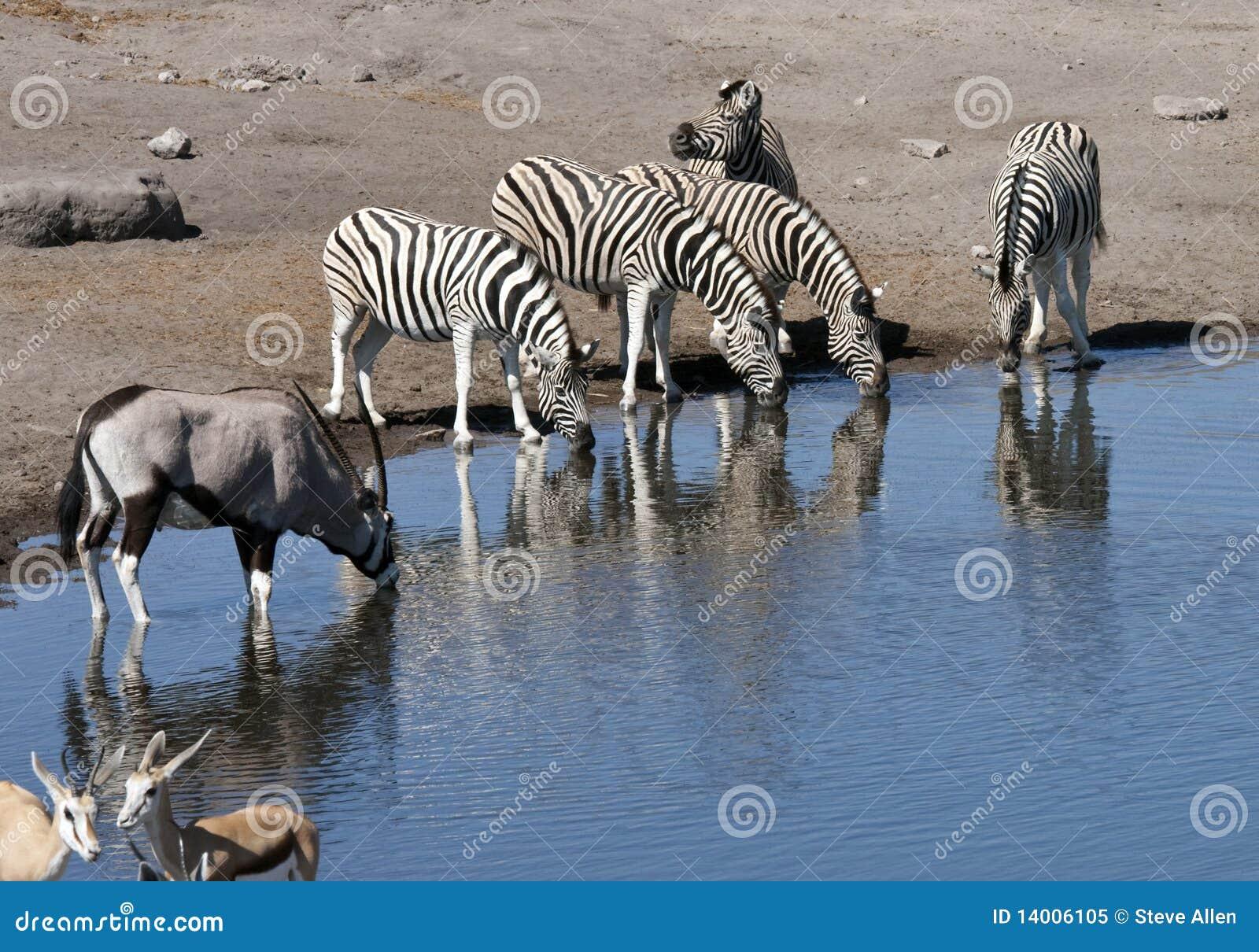 Fauna selvatica africana ad un waterhole nel Namibia
