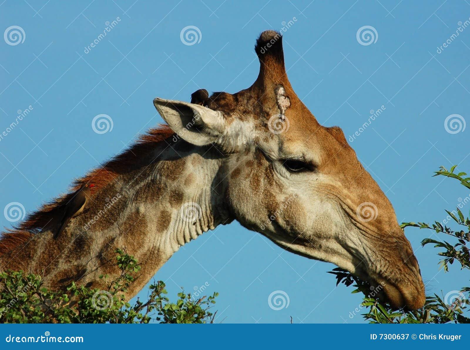 Fauna selvatica africana: Giraffa in Africa