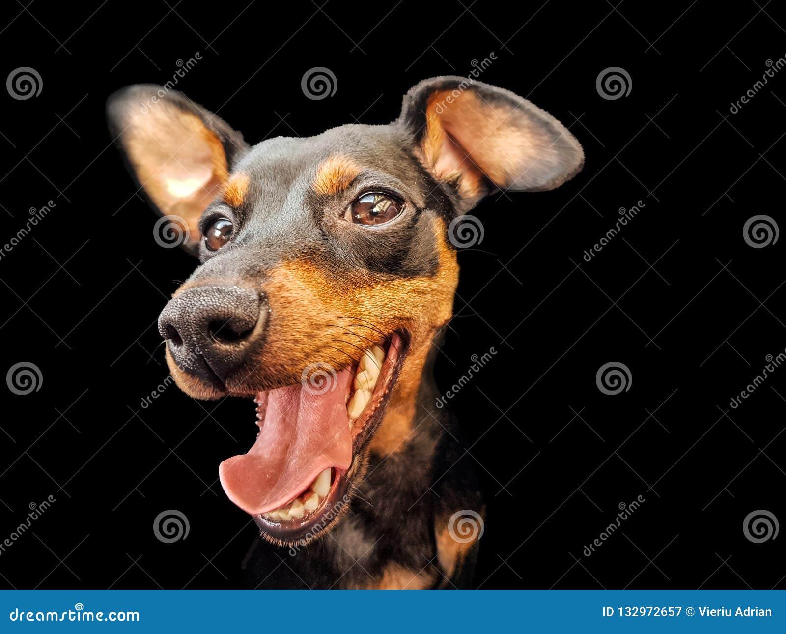 Fauna selvatica animale nana del nero dell amico del pinscher del cane isolata