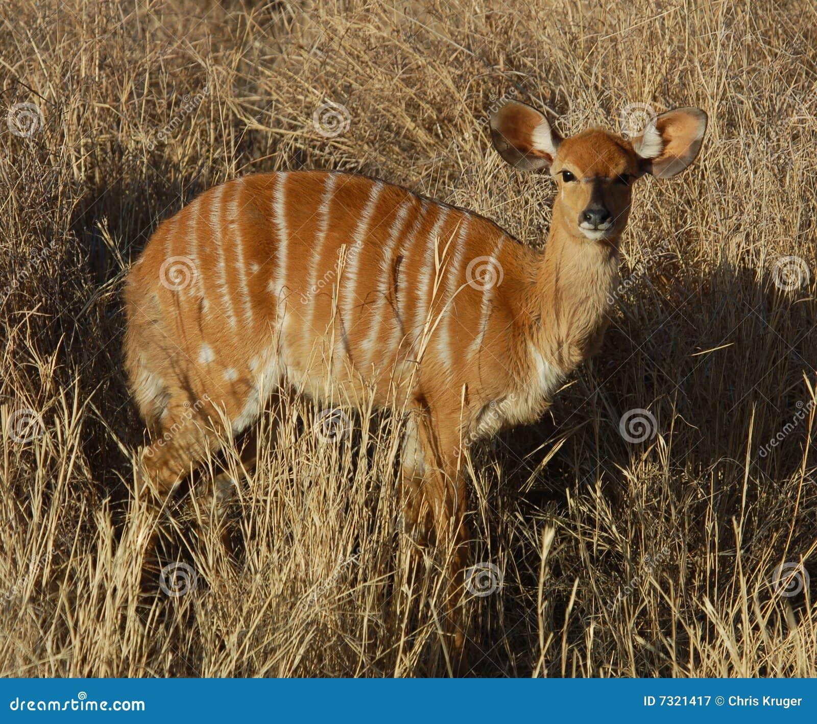Fauna selvatica dell Africa: Antilope del Nyala