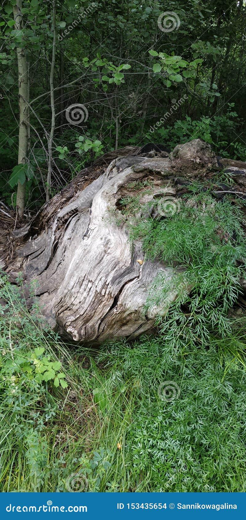 Faune Vieil arbre envahi avec l herbe