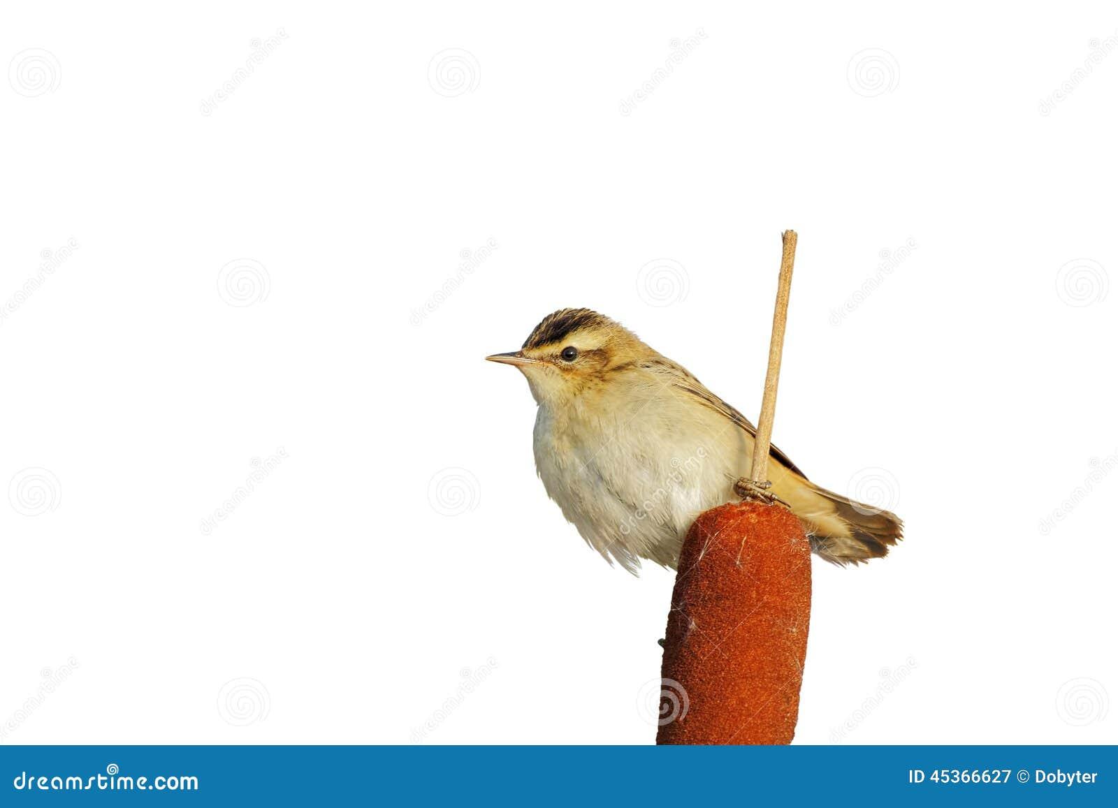 Fauvette de carex (schoenobaenus d Acrocephalus)