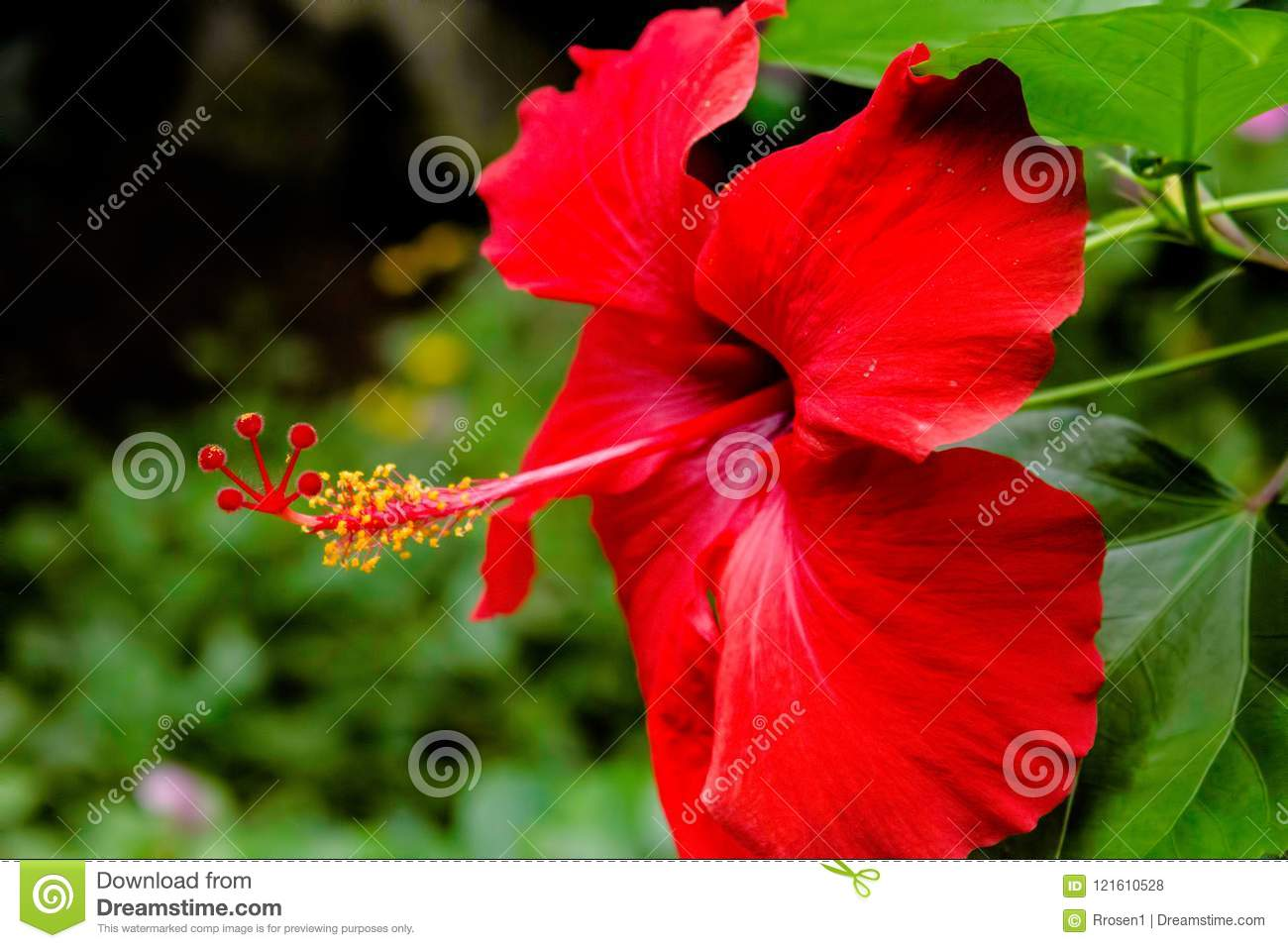 Hibiscus Palnt Growing In Its Natural Habitat Stock Photo Image Of