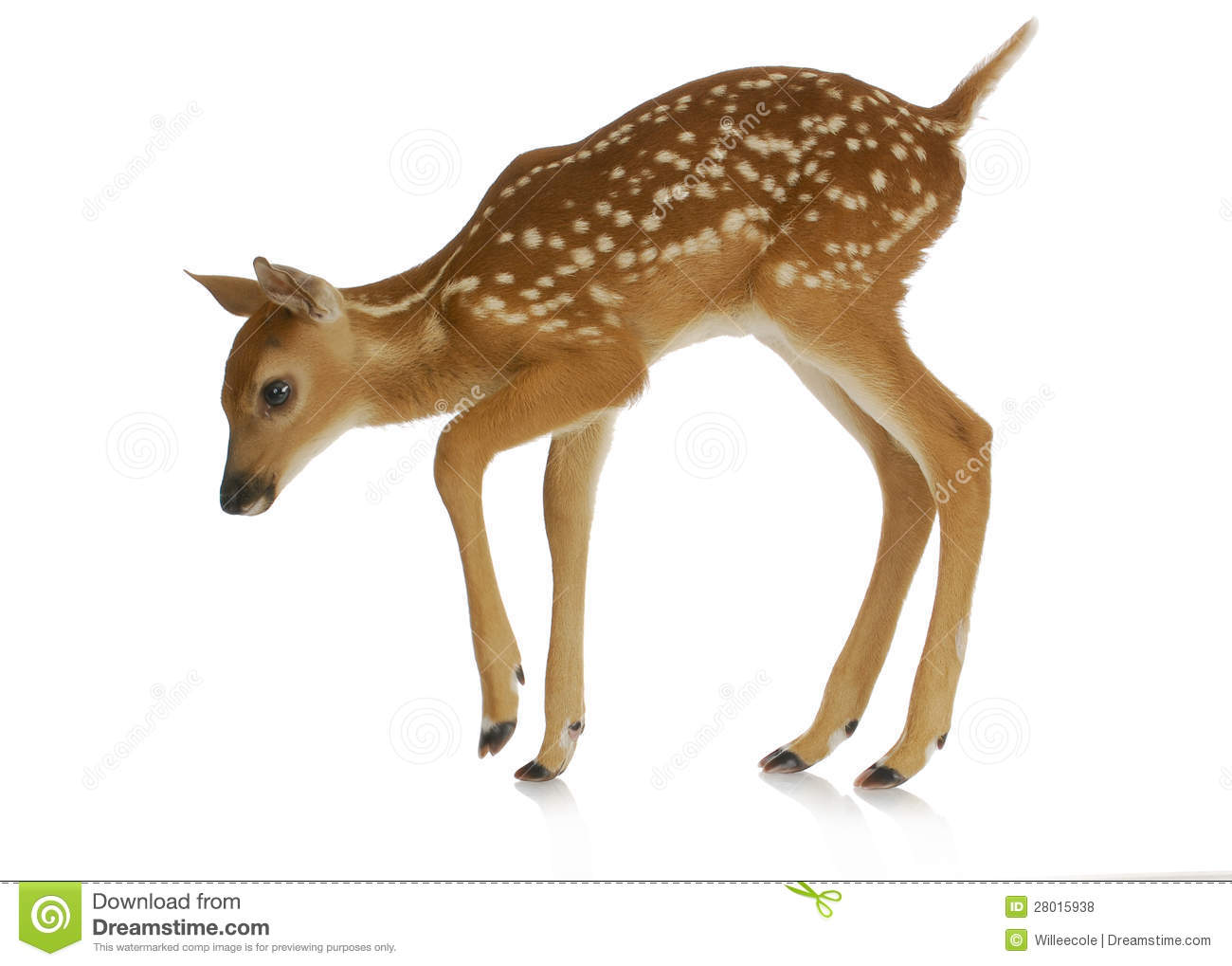 Fawn Stock Photo Image Of Side North Baby Nature