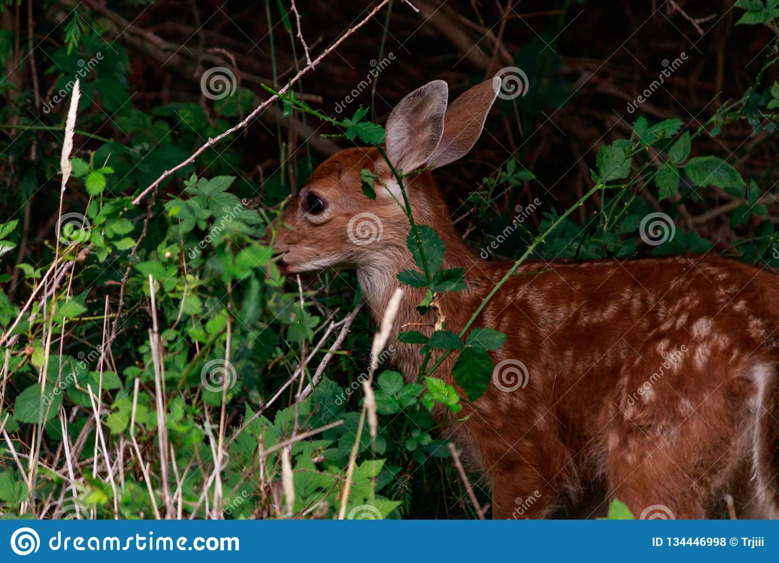 fawn behind tall grass and bushes eating in forest