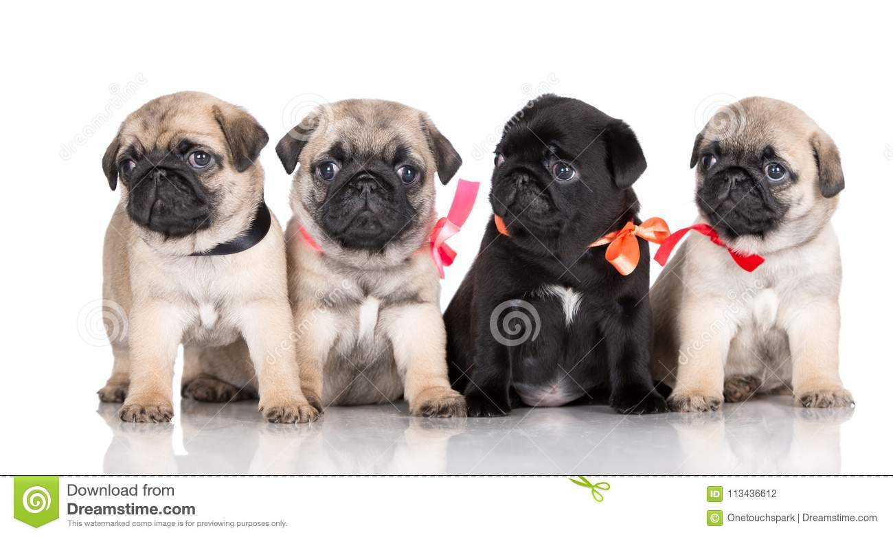 Group Of Pug Puppies On White Background Stock Photo Image Of Looking Mammal 113436612