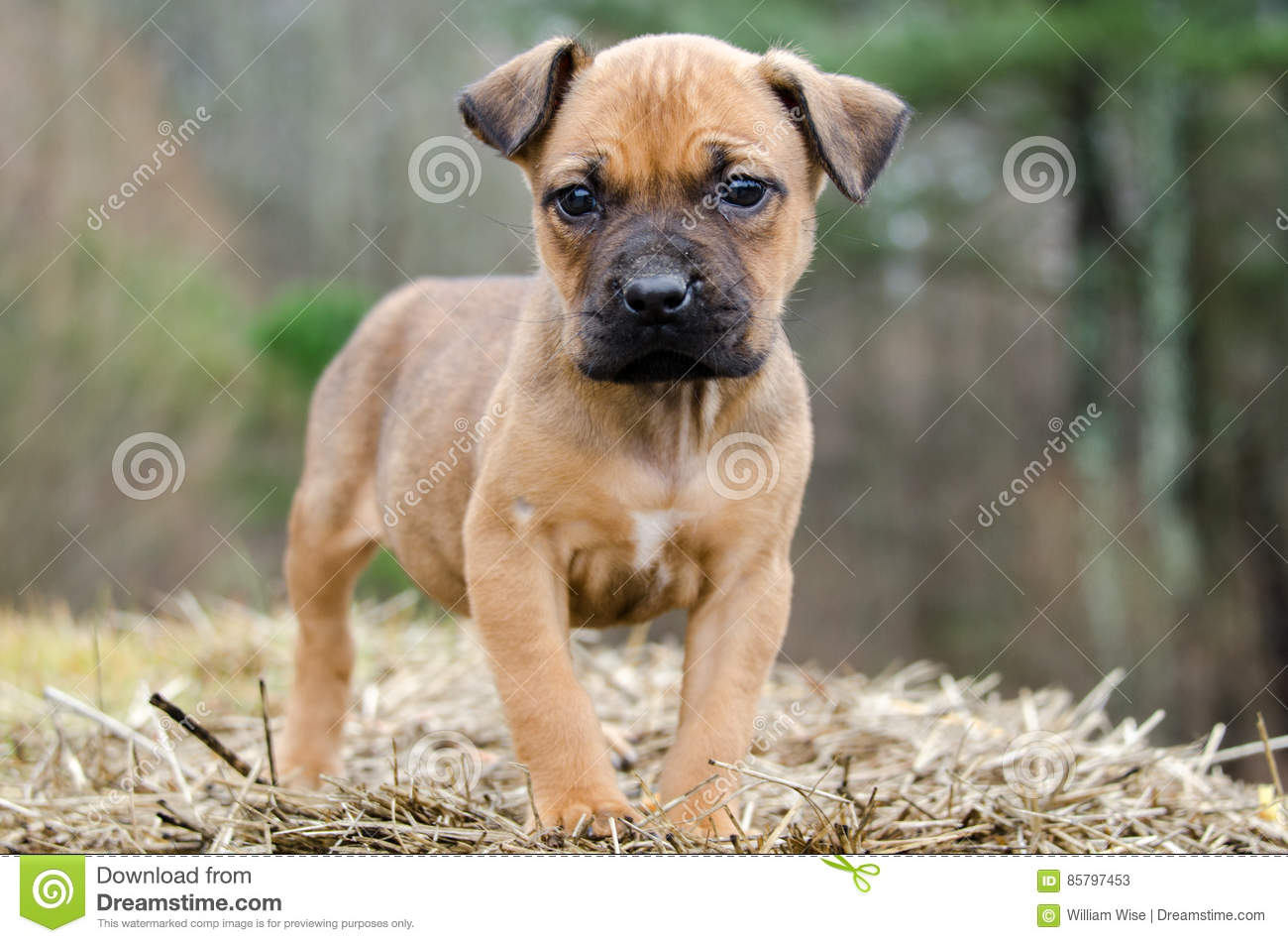 Fawn Boxer Mixed Breed Puppy Dog Stock Image Image Of Puppies