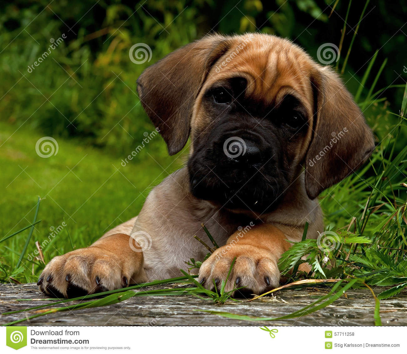 Fawn Cane Corso Puppy, 8 Weeks Stock Photo - Image: 57711258