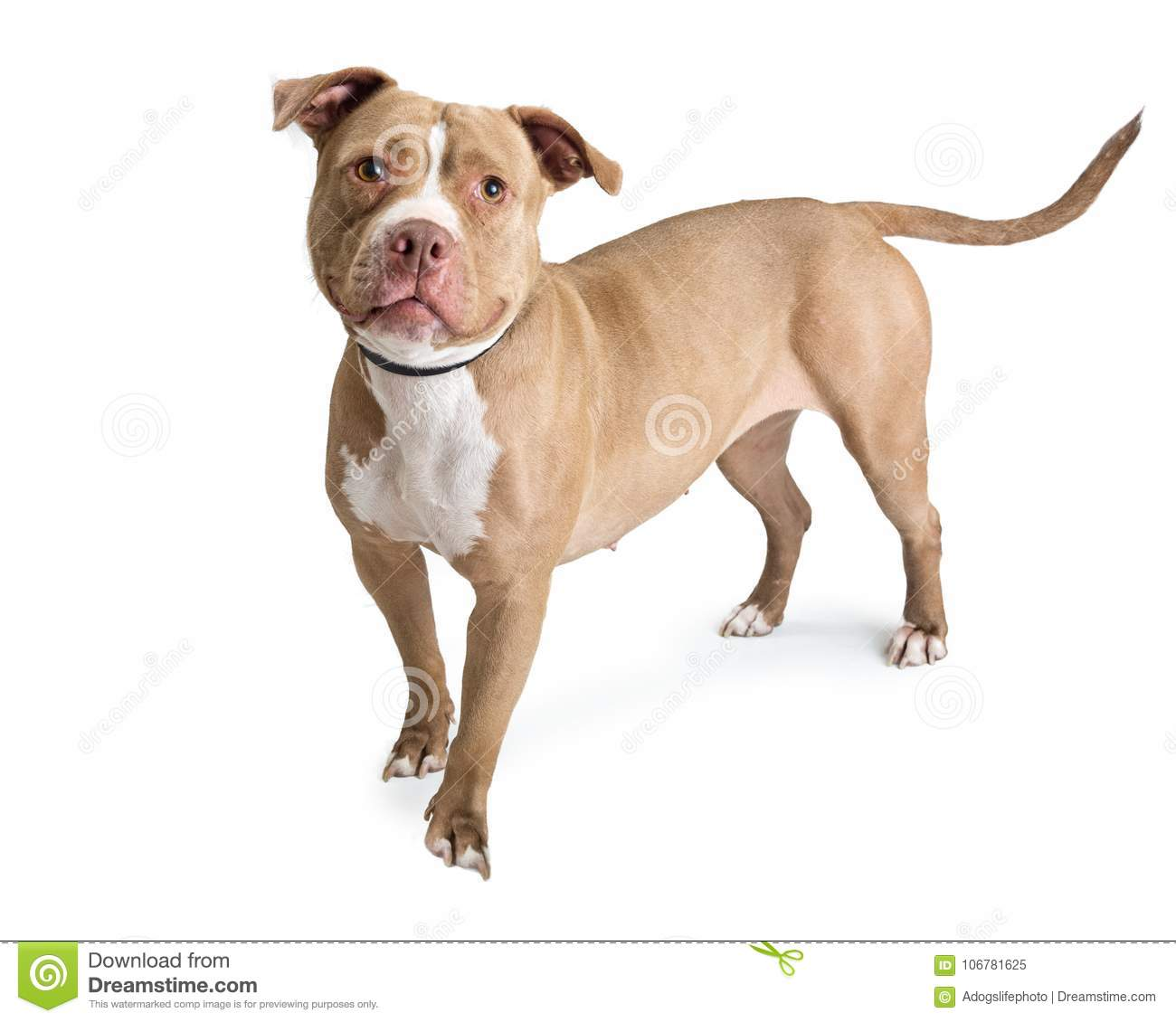 Fawn Pit Bull Dog Standing On White Stock Image - Image of