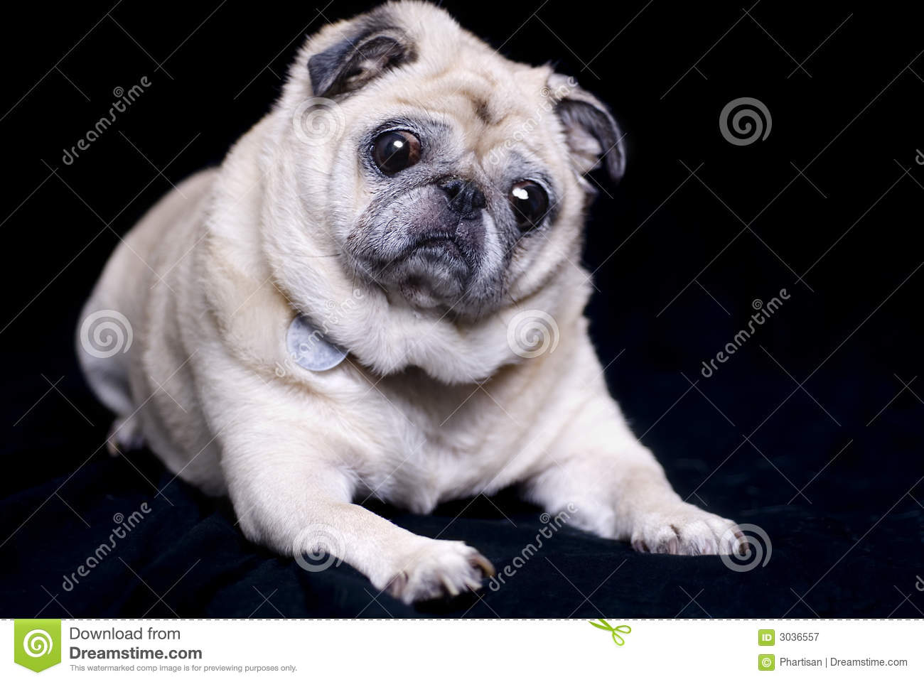 Fawn Colored Pug Royalty Free Stock Photography Image