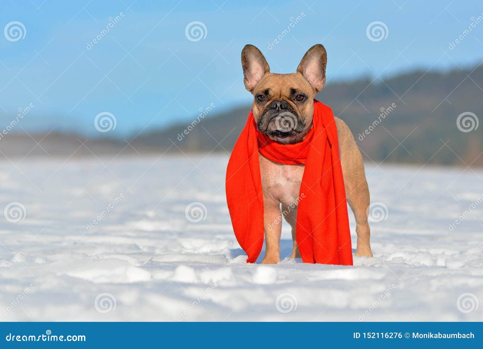 Fawn French Bulldog hund med en röd vinterhalsduk runt om halsanseende i snölandskap i vinter