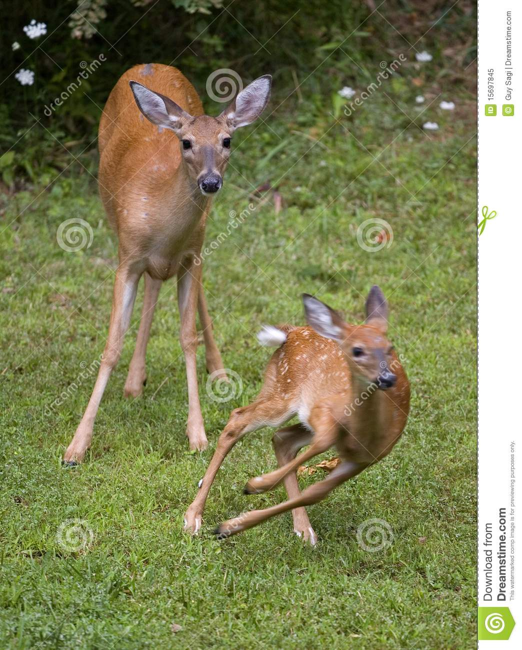 This Fawn It Out Of Here Royalty Free Stock Photo - Image ...