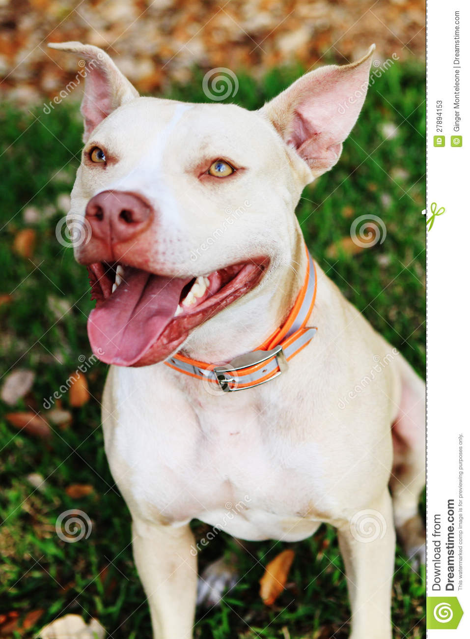 Fawn Pit Bull Stock Image Image Of Collar Healthy Amber