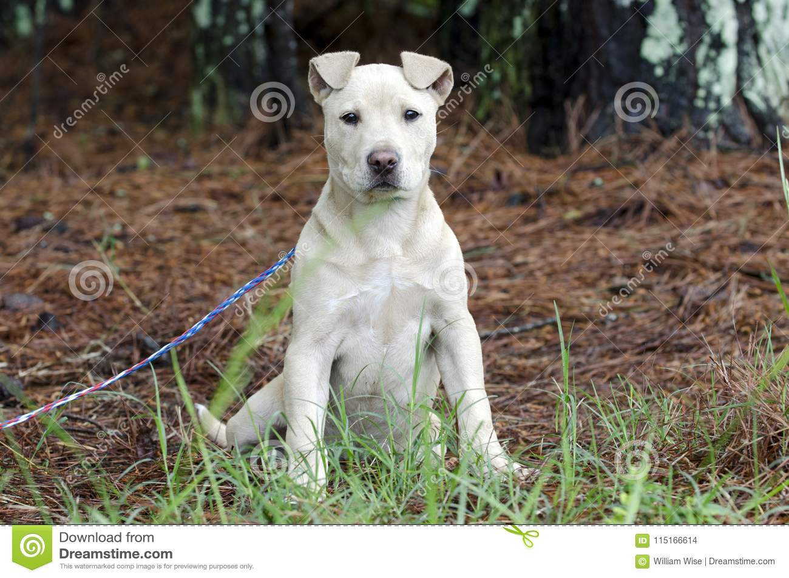 Fawn Pitbull Puppy Dog, Pet Rescue Adoption Photography