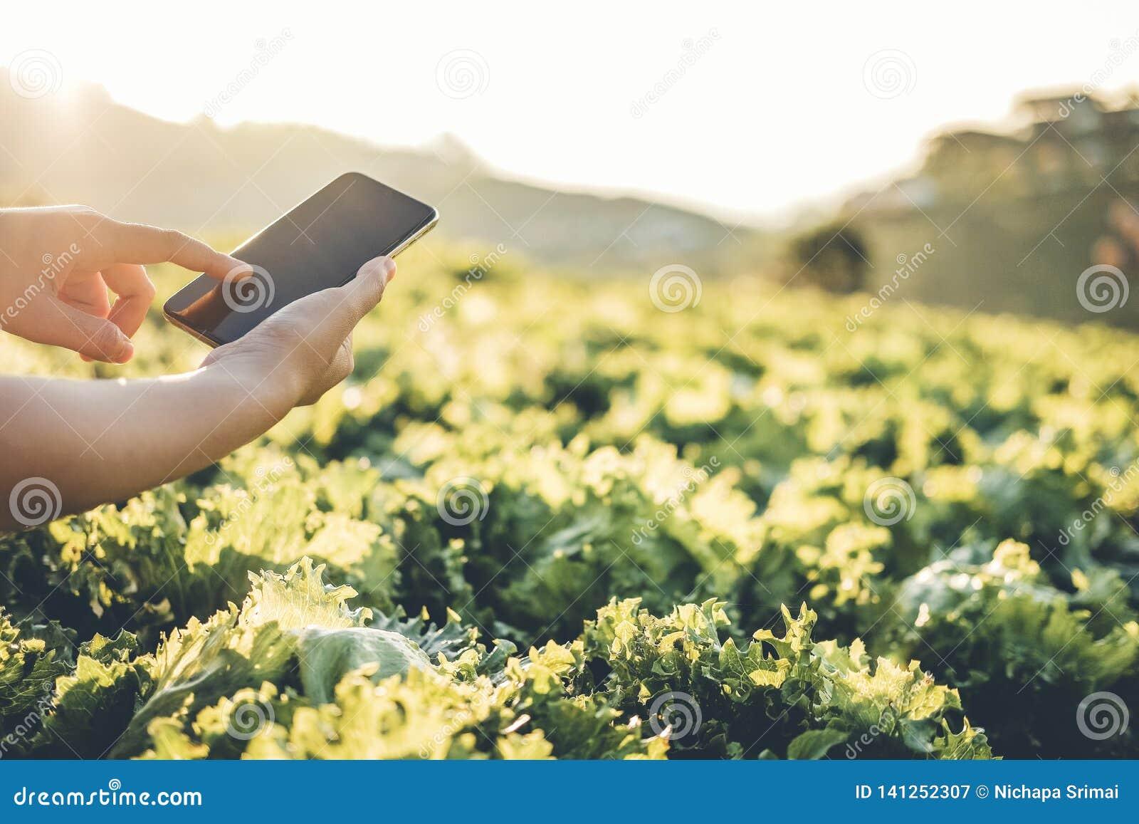 Fazendeiro da agricultura que verifica o touchpad na couve Fram de Nappa no verão