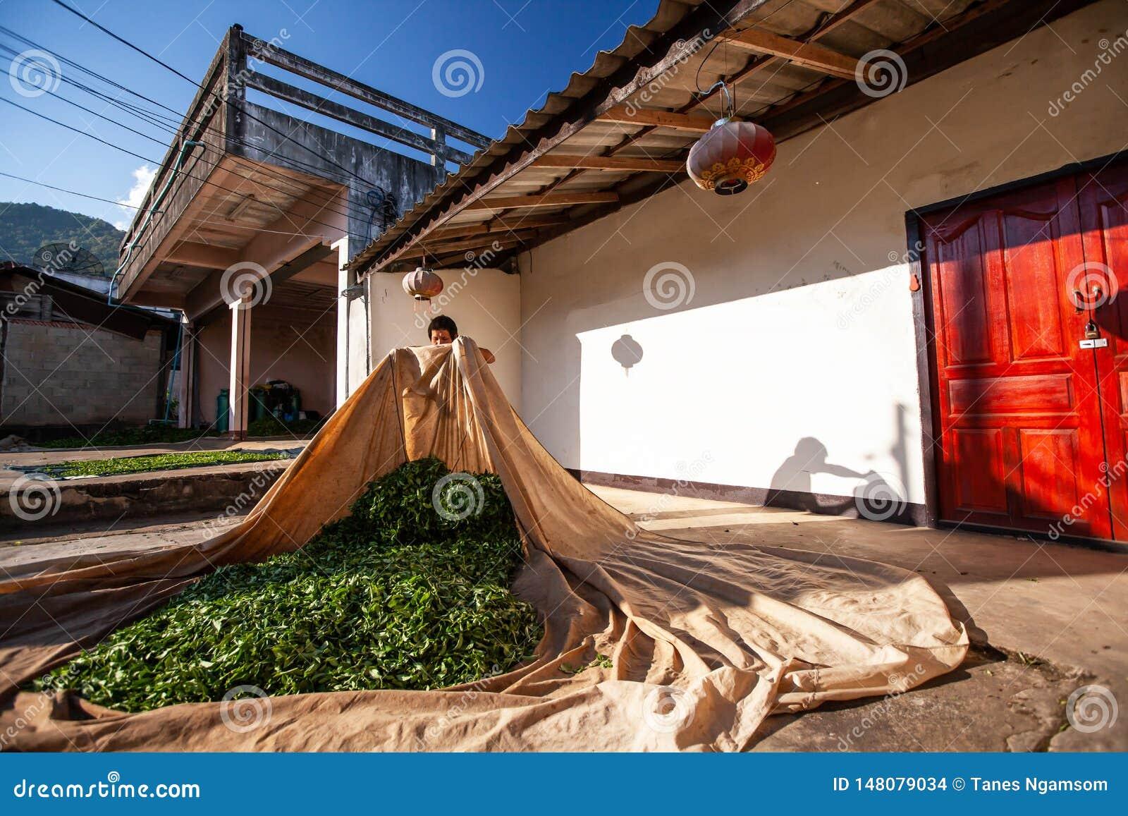 Fazendeiro de ch? que coloca as folhas na tela no p?tio para a secagem natural Doi Mae Salong, Chiang Rai, Tail?ndia