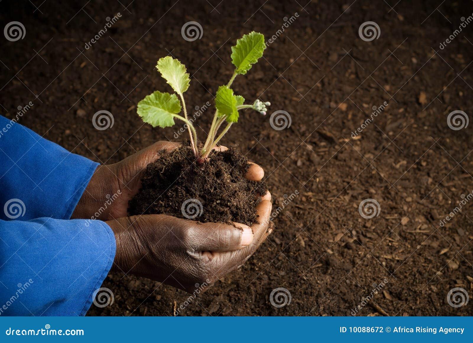 Fazendeiro do americano africano com planta nova