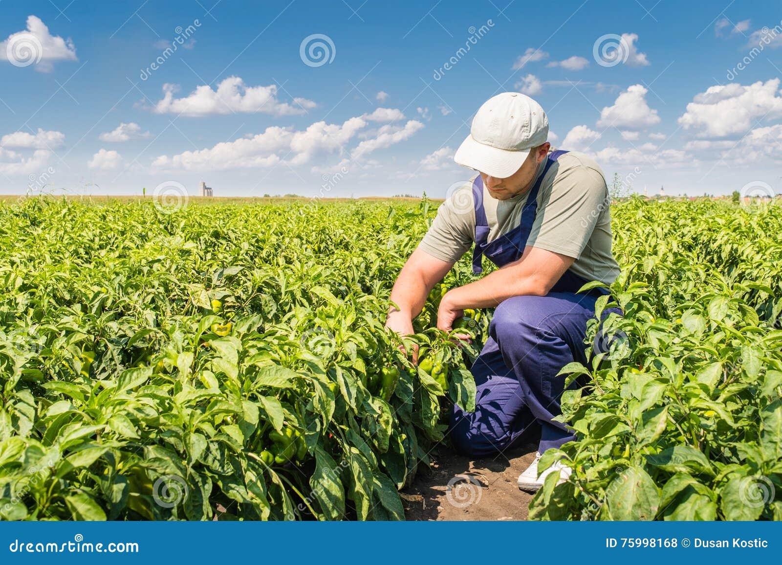Fazendeiro em campos da pimenta