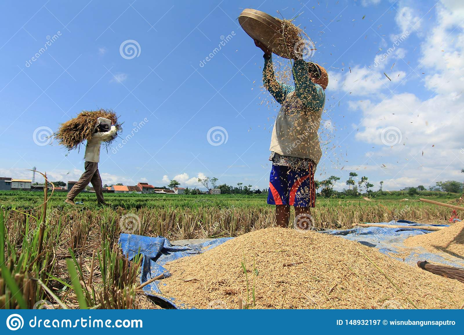 Fazendeiro Harversting Rice de Indon?sia no campo do arroz, o 15 de abril de 2019, cidade de Probolinggo, East Java, Indon?sia