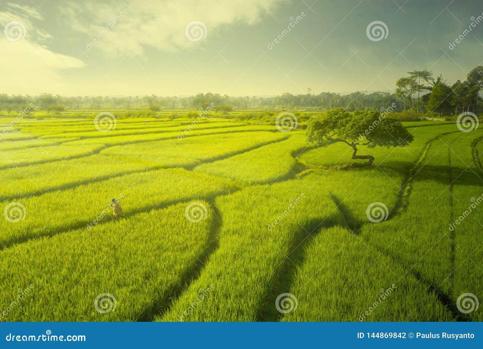 Fazendeiro masculino que anda no campo do arroz no crep?sculo