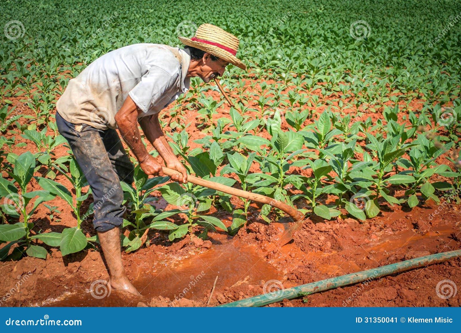 Fazendeiro que trabalha em seu campo de tabaco em Vinales, Cuba