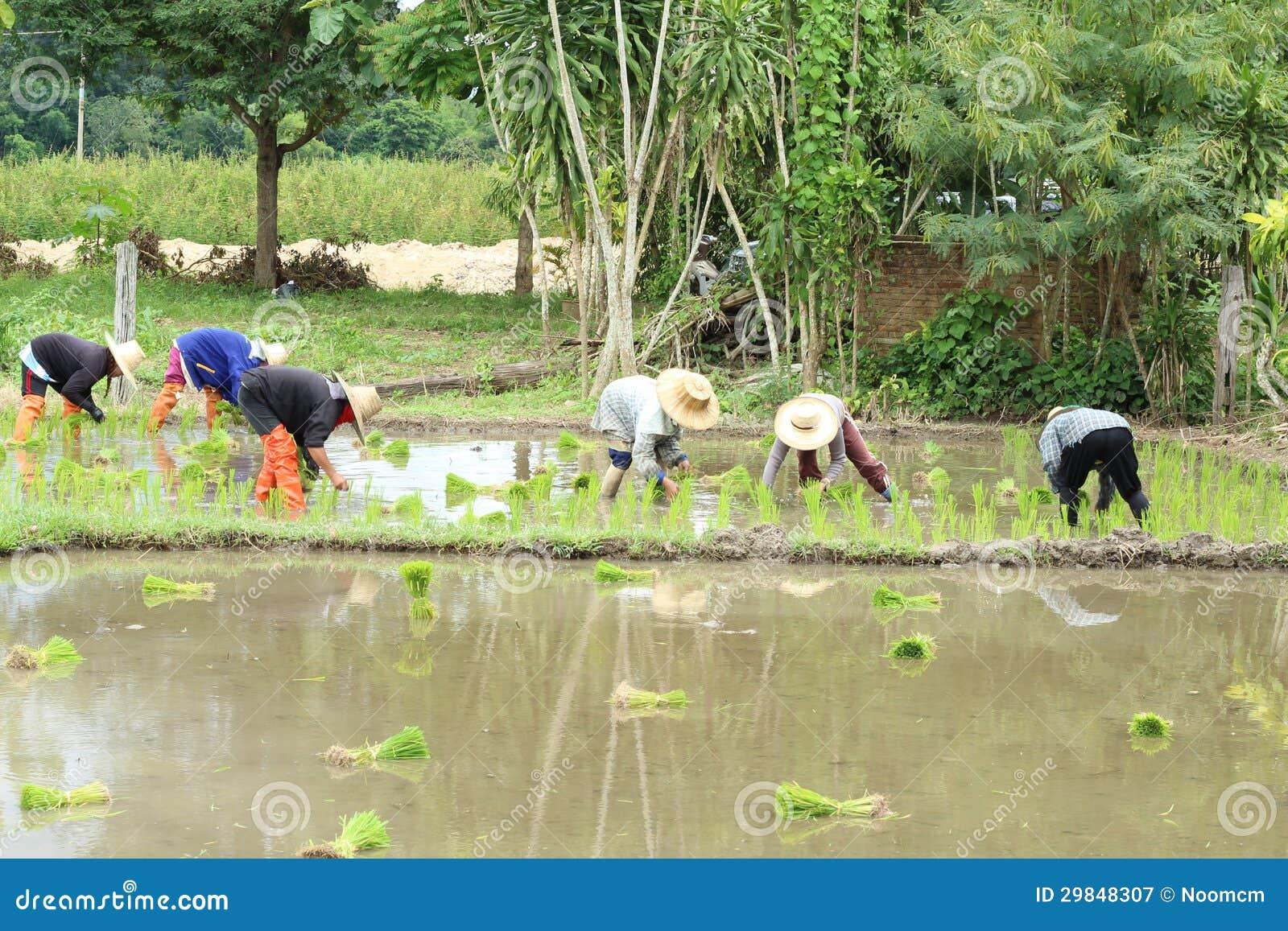 Plantação tailandesa do fazendeiro
