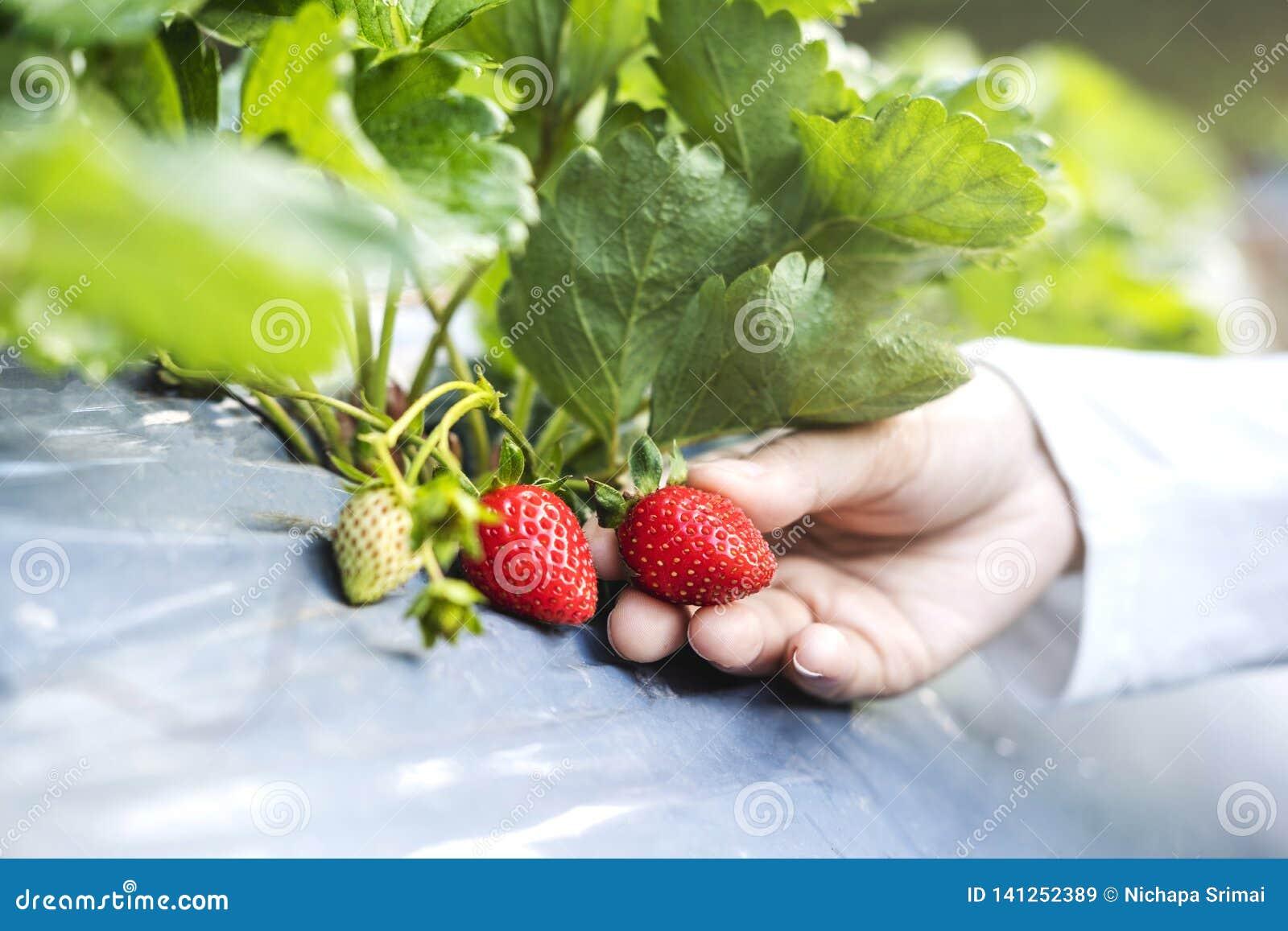 Fazendeiro Woman que verifica a morango na exploração agrícola orgânica da morango