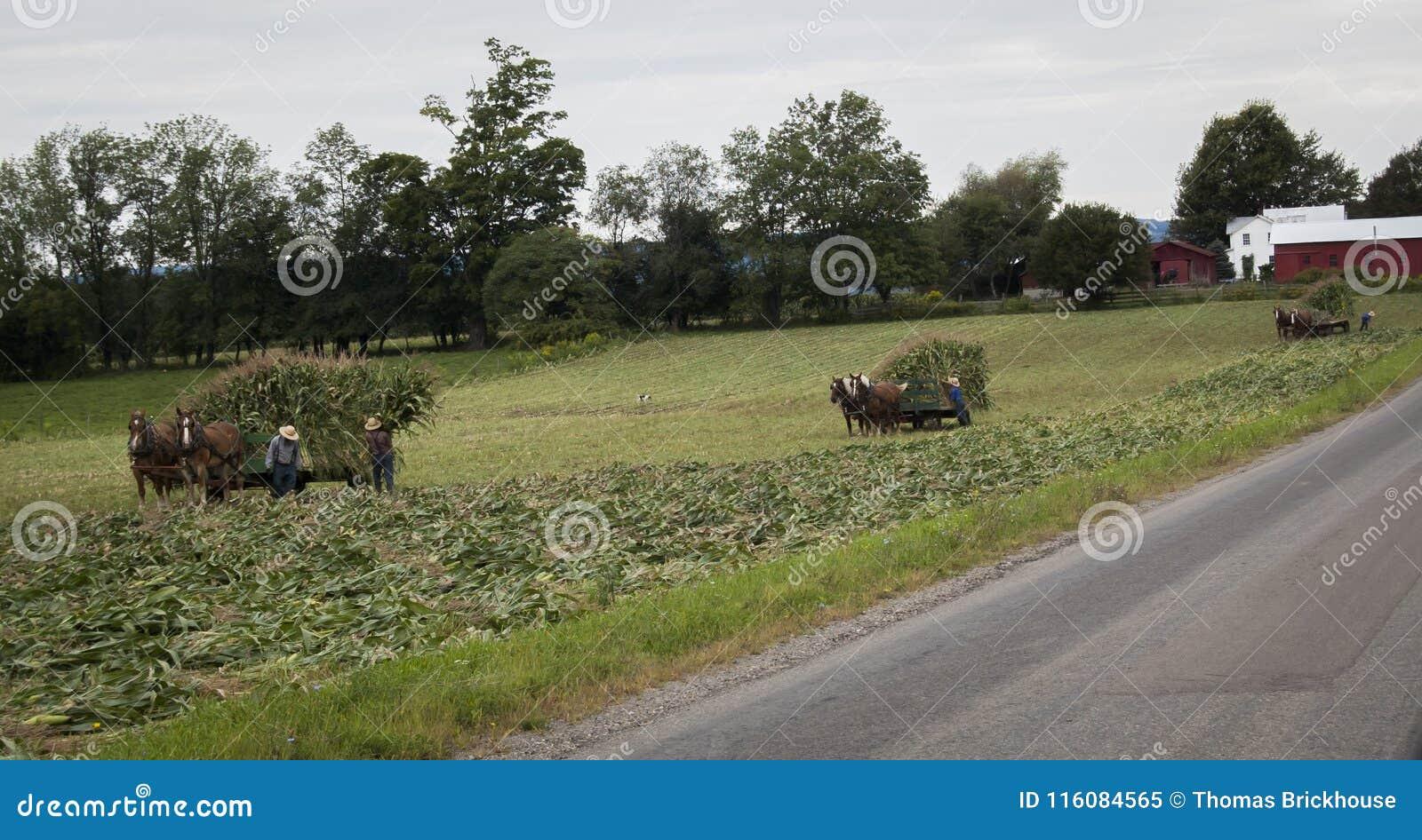 Fazendeiros de Amish que colhem séries do milho