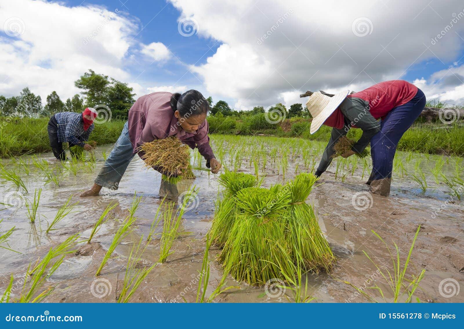 Fazendeiros do arroz em Tailândia