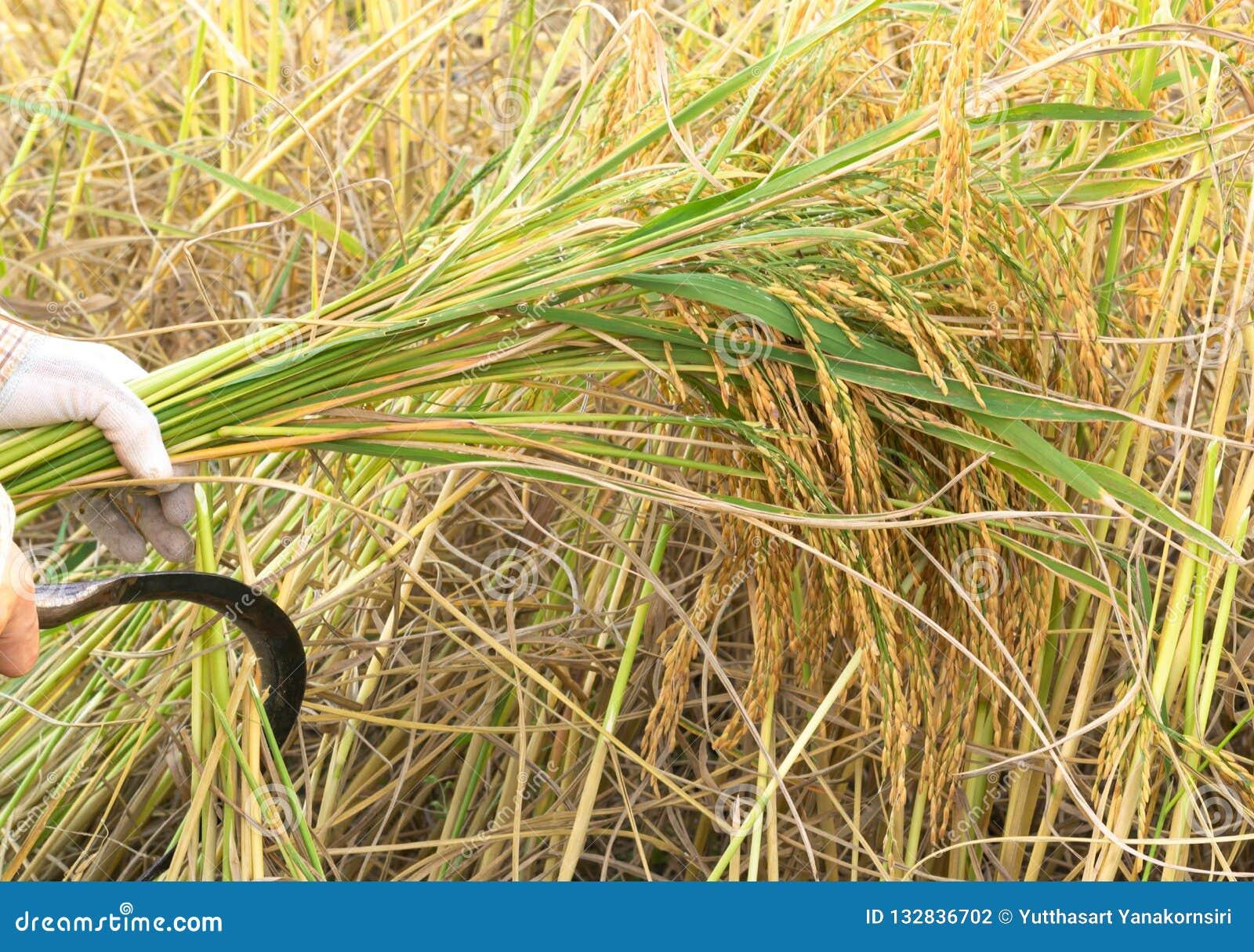 Fazendeiros que colhem o arroz no campo do arroz em Tailândia