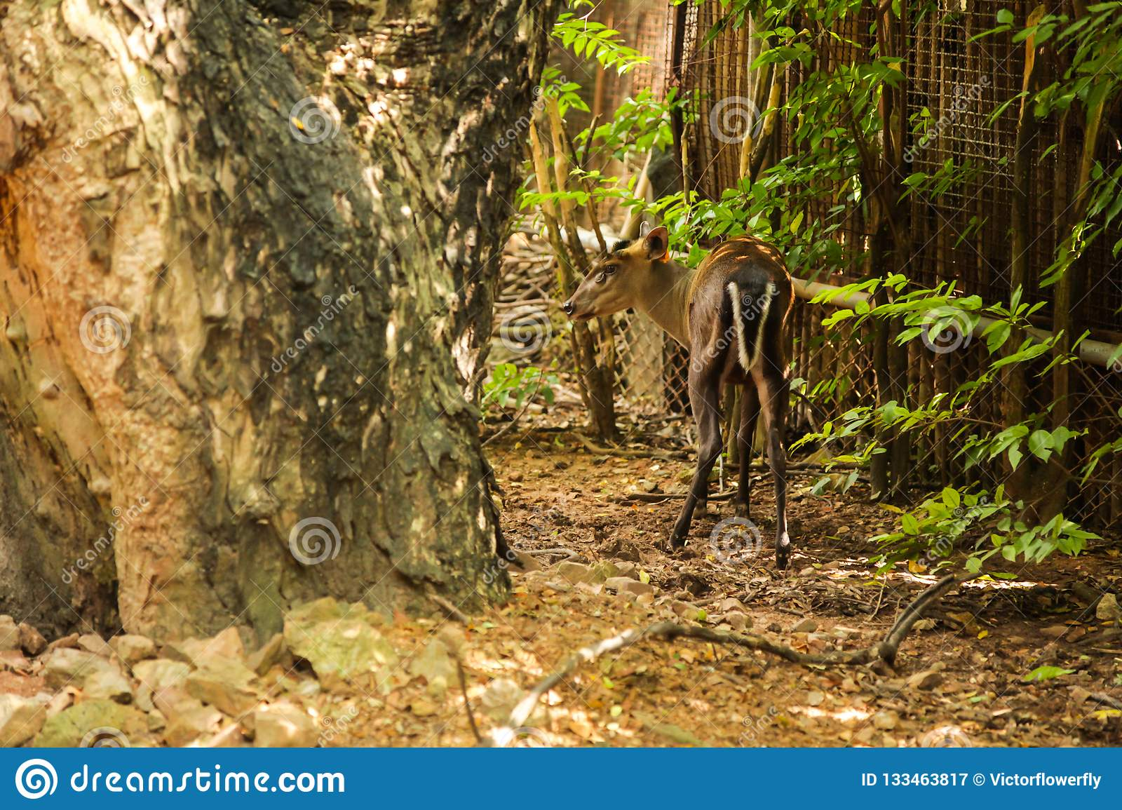 Fea`s Muntjac Tenasserim muntjac is diurnal and solitary, inhabiting upland evergreen, mixed shrub forest with diet of grasses,