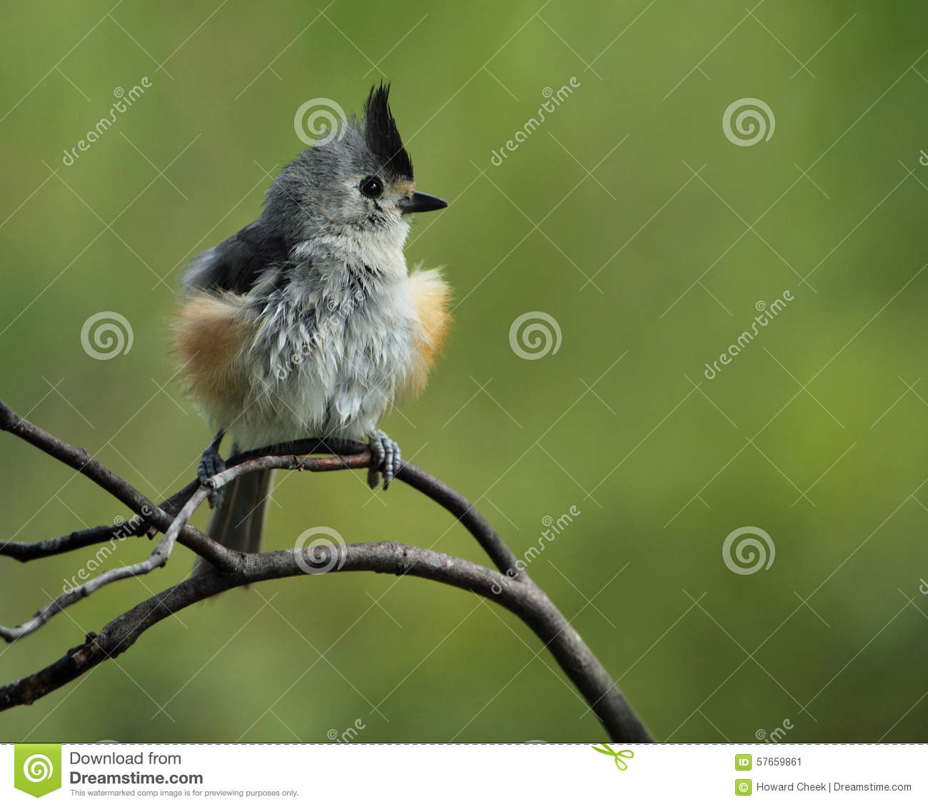 Feather Ball (Black-crested Titmouse)