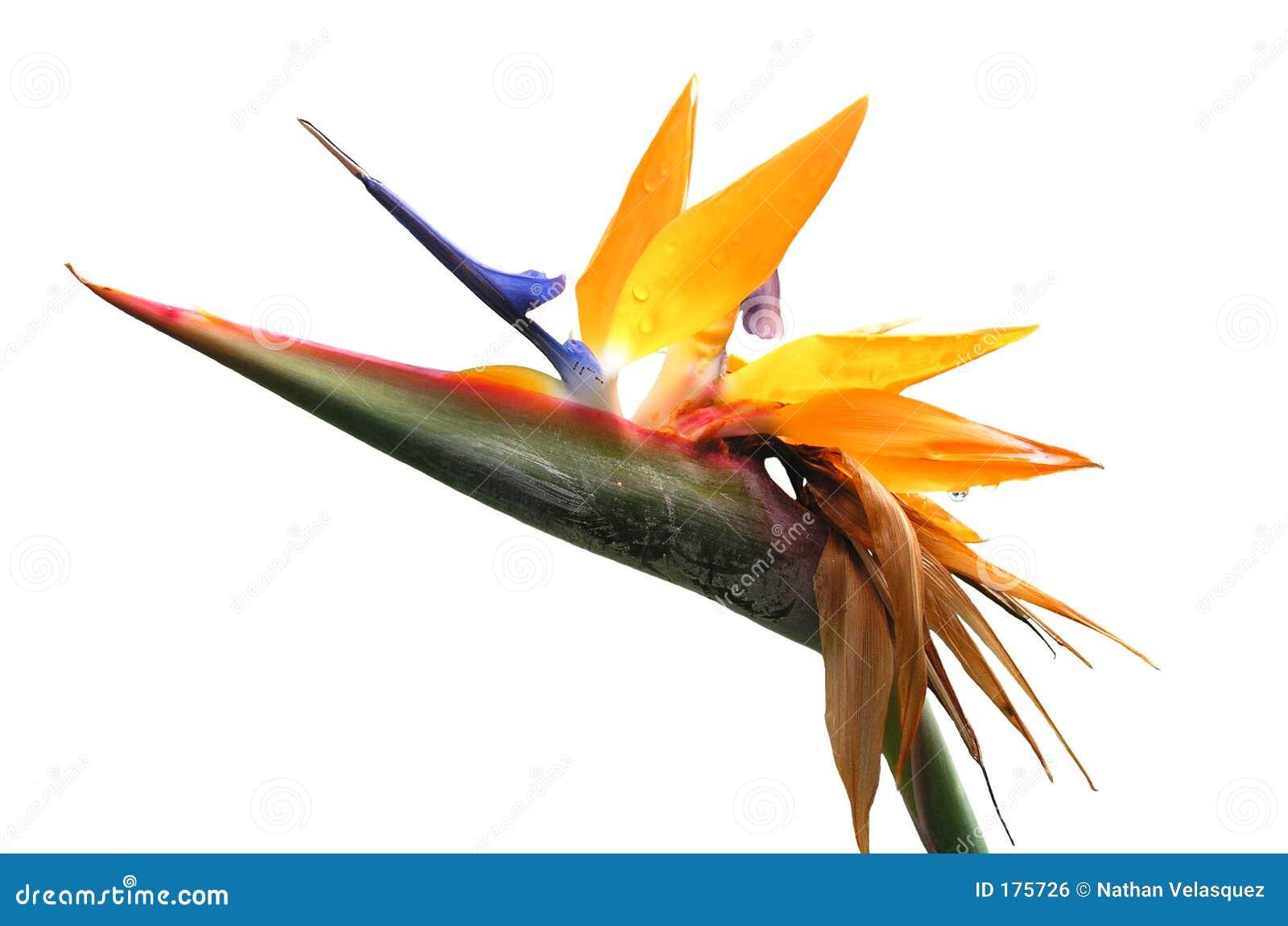 Featherless Paradijsvogel