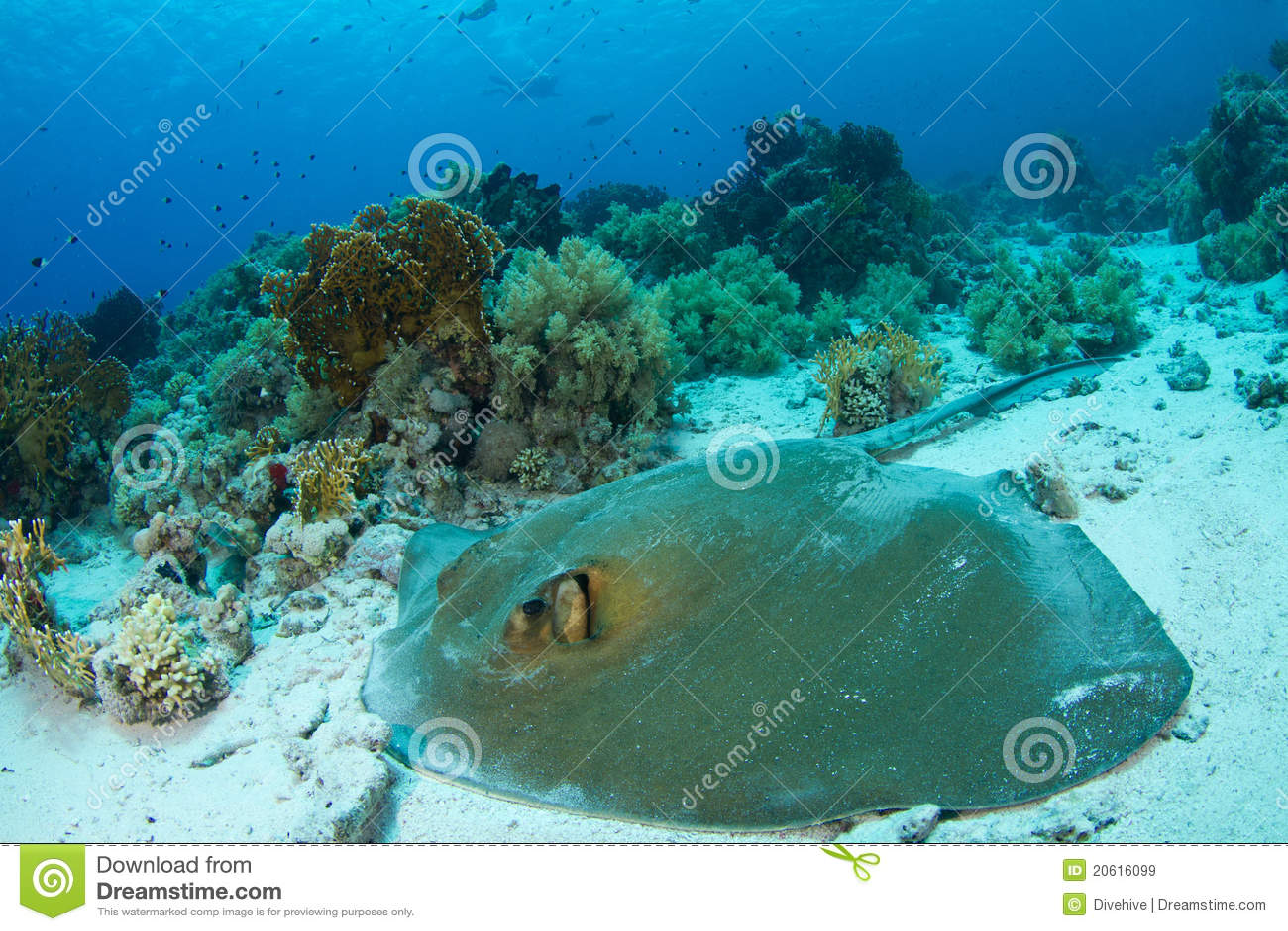Feathertail stingray