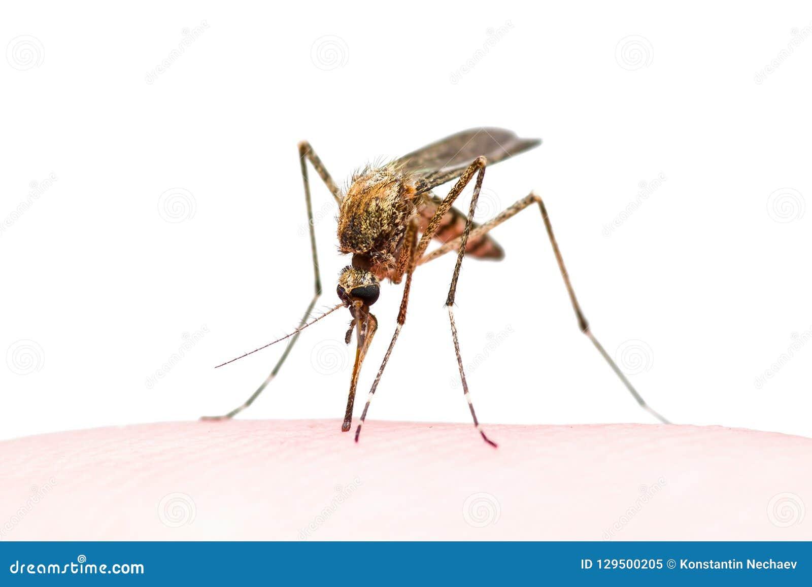 A febre amarela, a malária ou o vírus de Zika contaminaram a mordida de inseto do mosquito isolada no branco