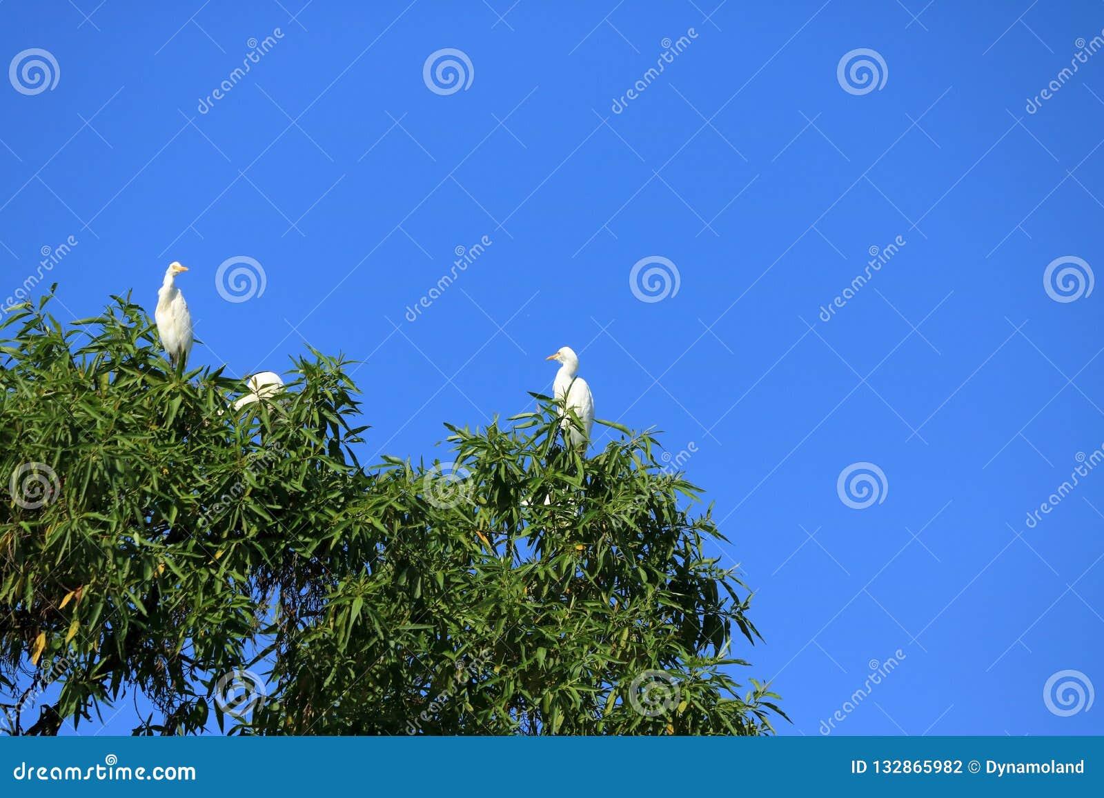 Fechado acima dos pássaros do pássaro de costa em uma árvore, intermedia intermediário da área do egret, Nepal