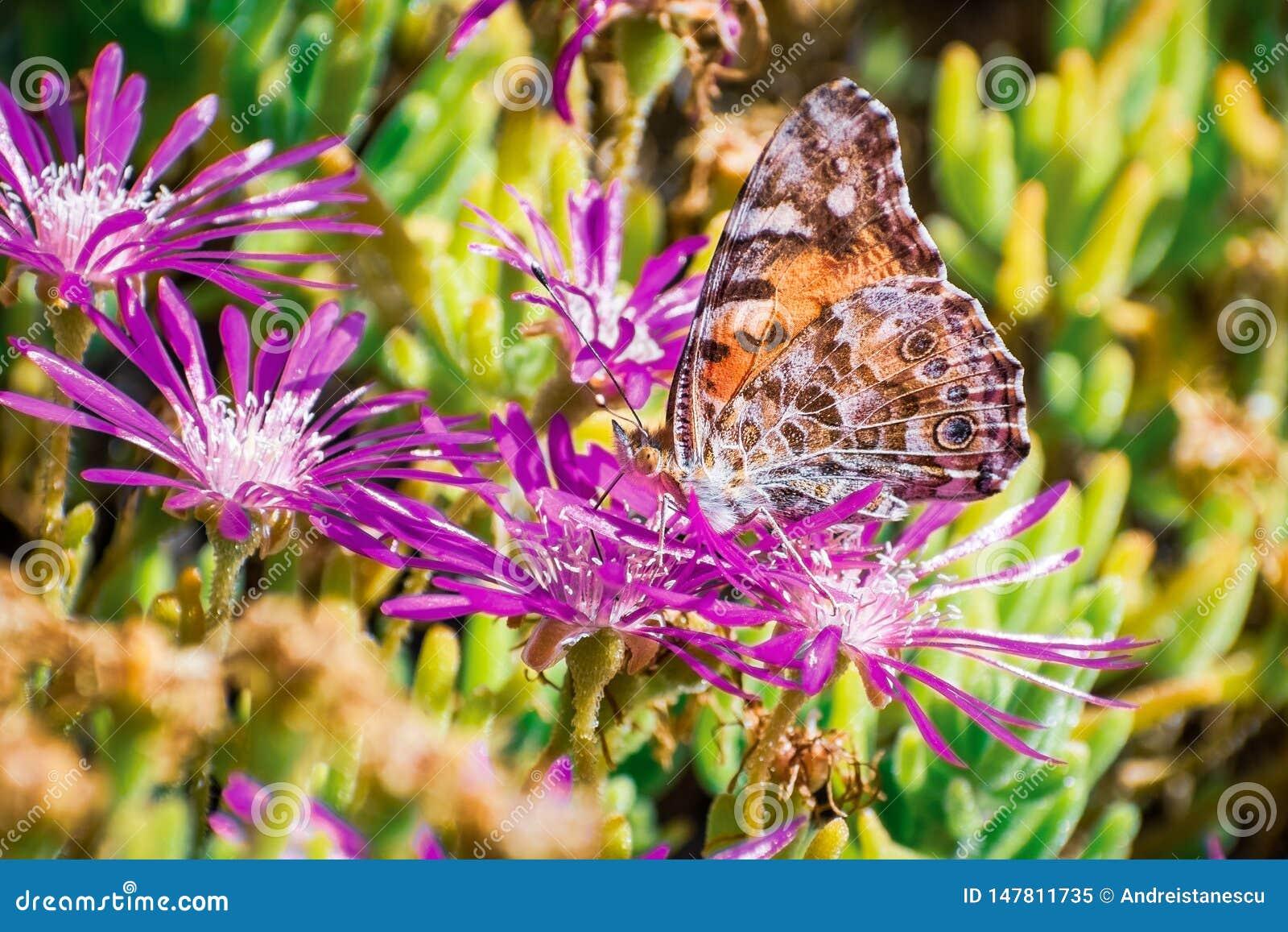 Feche acima da borboleta do cardui da senhora Vanessa Painted que poliniza uma flor de arrasto do cooperi de Iceplant Delosperma,