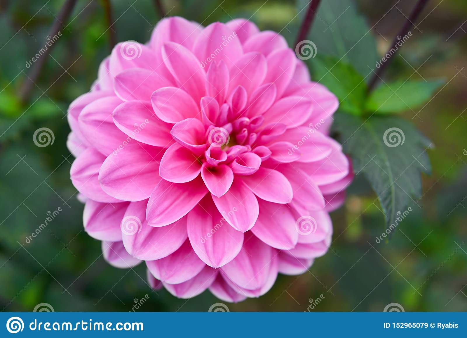 Feche acima da dália cor-de-rosa no jardim