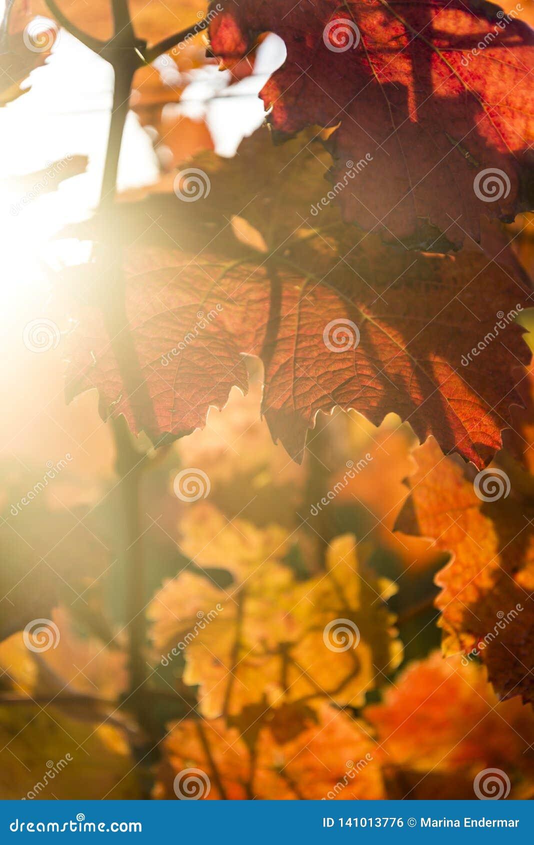 Feche acima da folha do outono, Dorking, Surrey, Inglaterra, Reino Unido