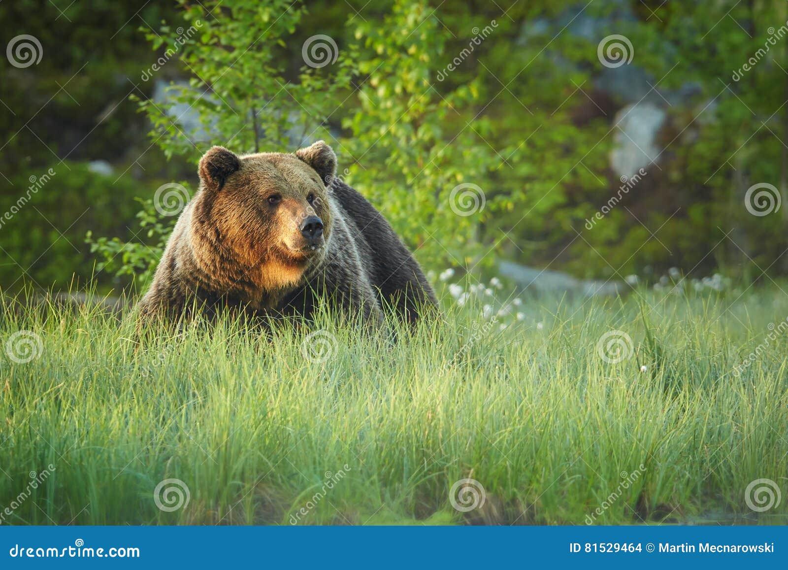Feche acima da foto de um urso de Brown selvagem, grande, arctos do Ursus, homem na grama de florescência
