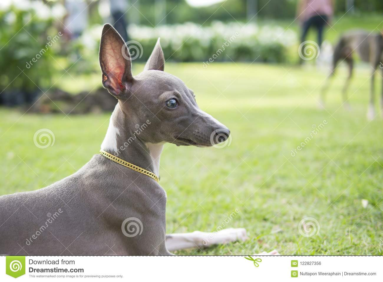 Feche acima da foto do cachorrinho do galgo italiano com o sitti do colar do ouro
