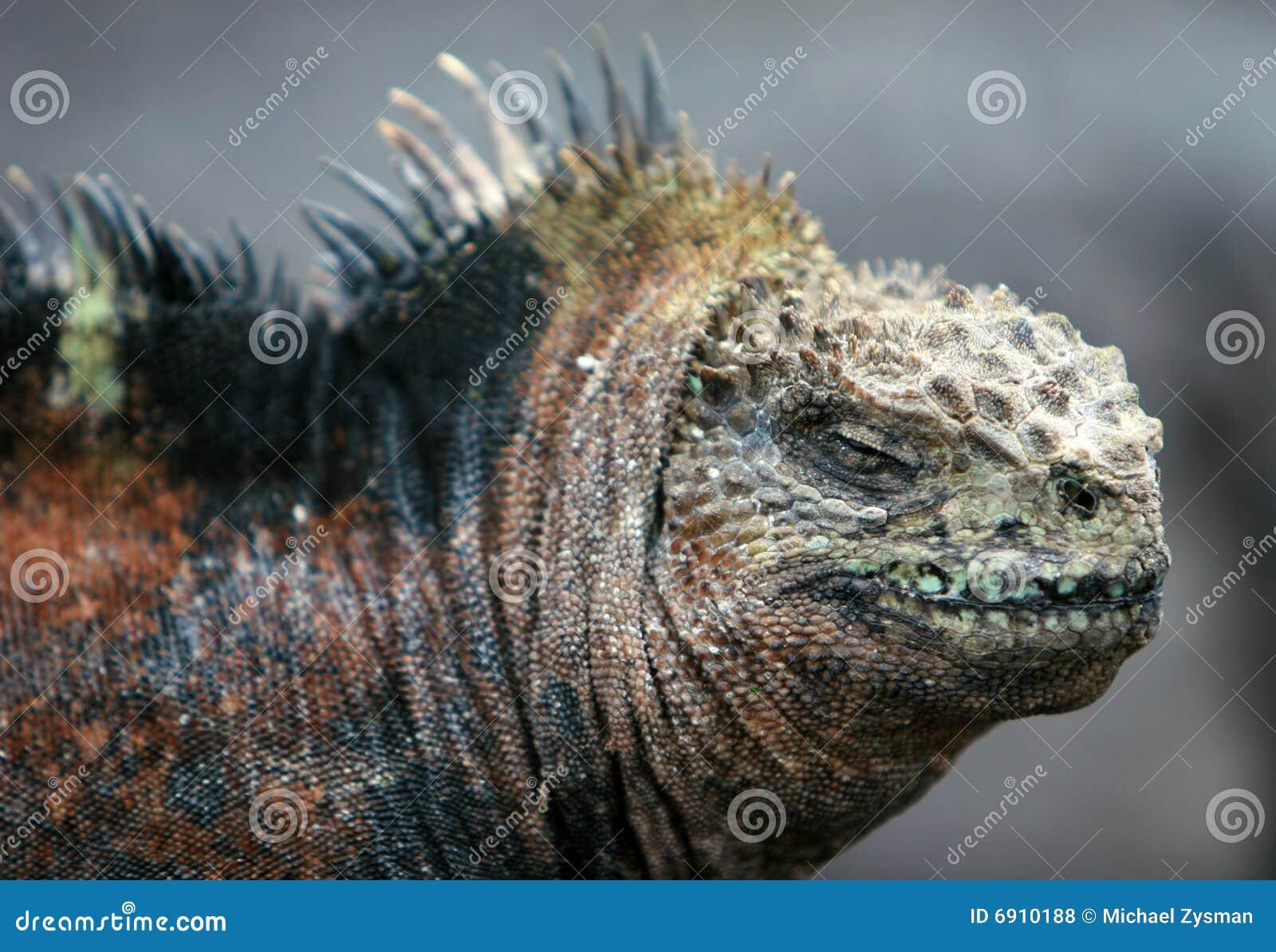 Feche acima da iguana marinha