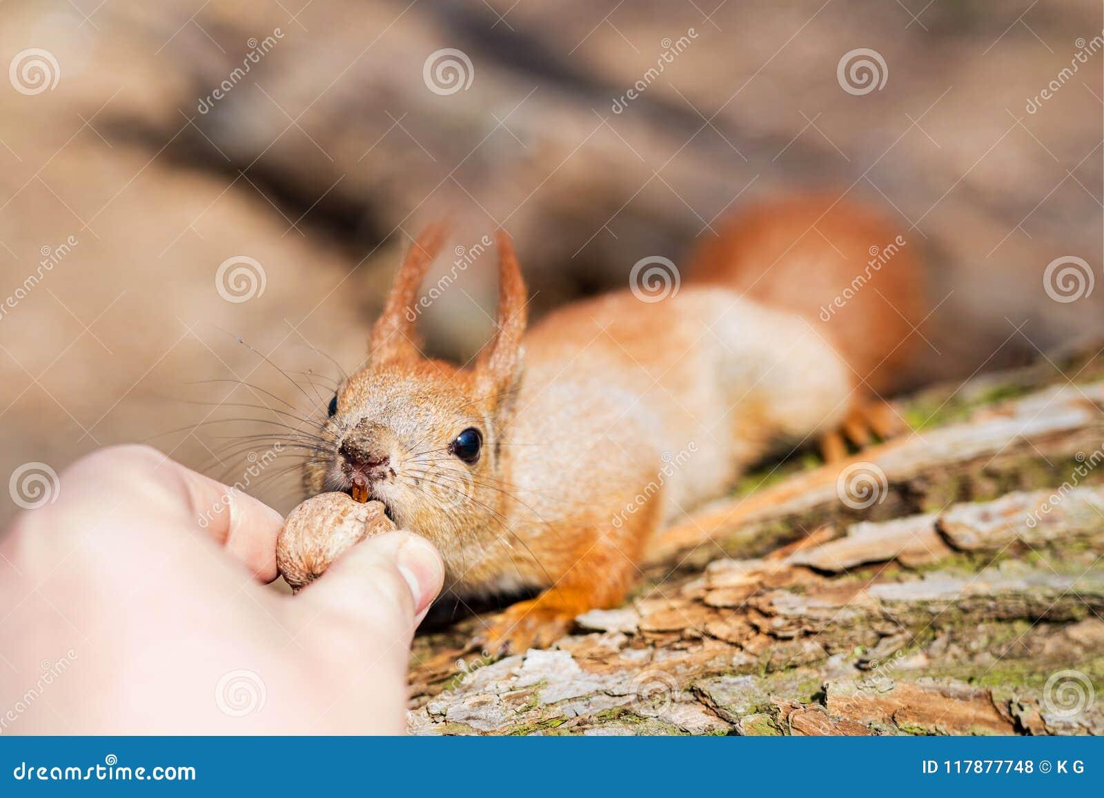 Feche acima da mão dos adultos que alimenta o esquilo engraçado macio com fome bonito com noz em um perigo da floresta da mordedu