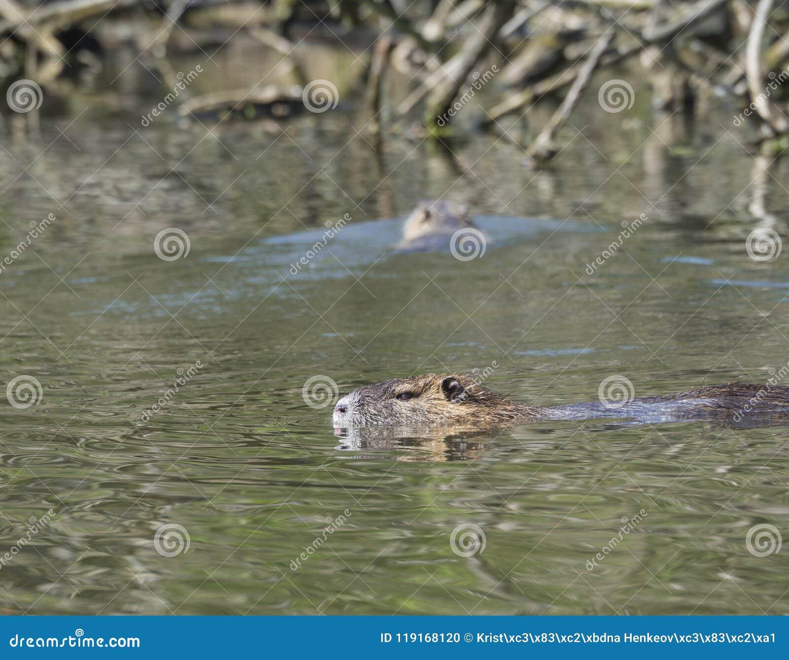 Feche acima da natação no lago do pântano, s do zibethicus do Ondatra do muskrat