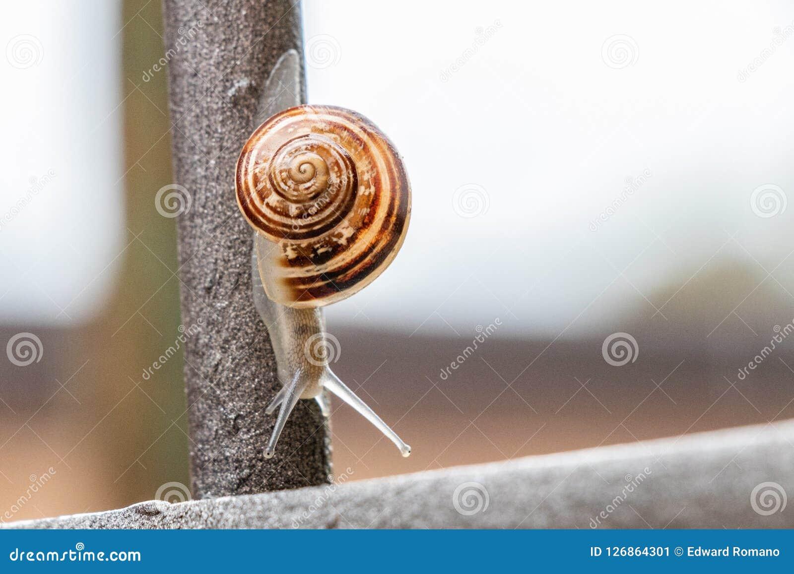 Feche acima da opinião um caracol de jardim bonito, saindo lentamente de seu shell Bonito, marrom, fibonacci, espiral, teste padr