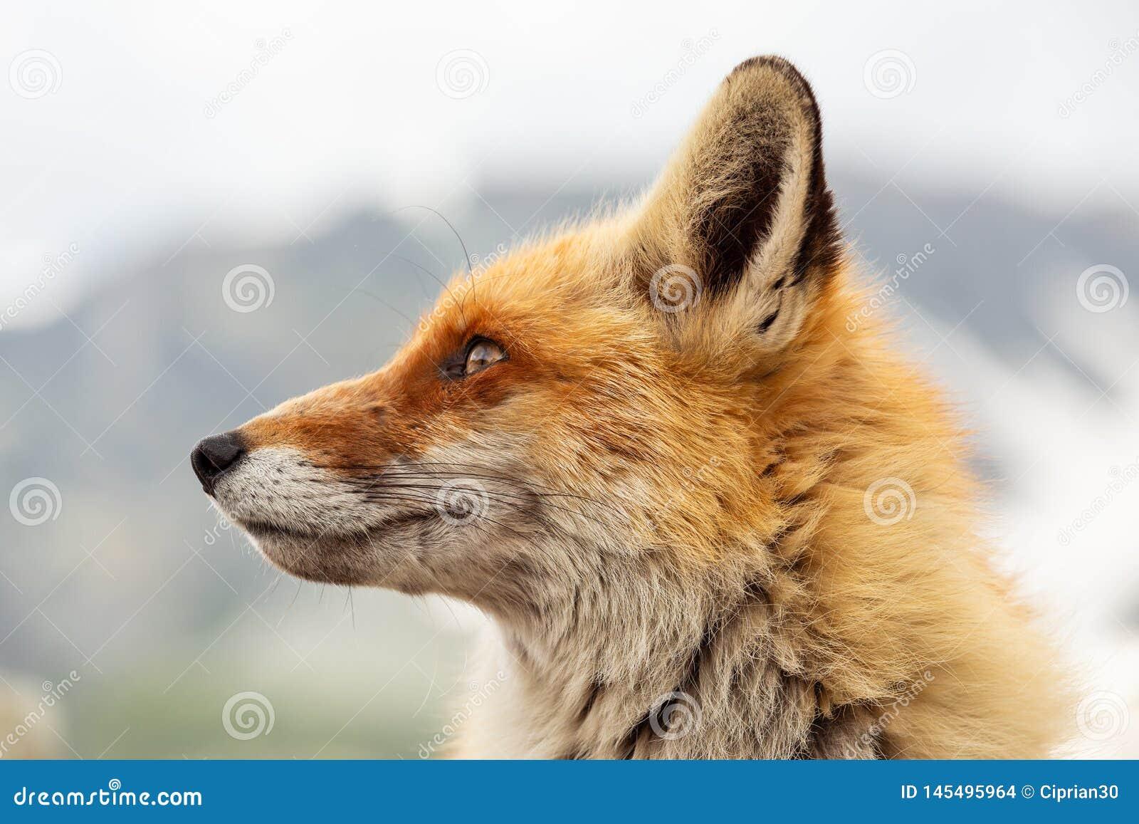 Feche acima da raposa vermelha no selvagem na natureza com fundo do borrão
