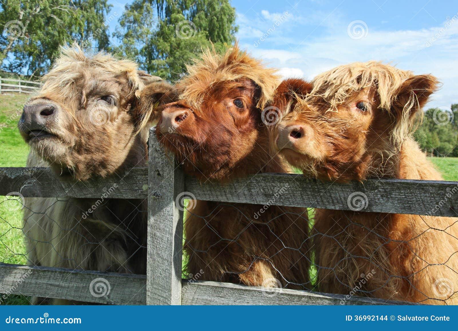Feche acima da vaca escocesa das montanhas no campo